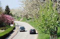 Blühende Kirschbäume auf dem Deich im Hamburge Stadtteil Francop.