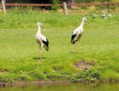 Zwei Weißstörche auf einer Wiese am Ufer der Doveelbe in Allermöhe - in den Hamburger Vier- und Marschlanden leben 17 der 19 Hamburger Storchenpaare, die z. B. 2011 46 Junge aufgezogen haben.