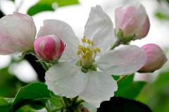 Geöffnete Apfelbüte und Knospen - Frühlingsboten.