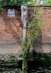 Alte Kaianlage im  Hamburger Hafen - die Kaimauer ist mit Ziegelsteinen verblendet; die Eisenhalterungen eines Streichdalbens haben sich teilweise gelöst, das Holz ist verwittert und mit einer jungen Birke bewachsen.