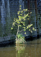 Rest eines Holzdalben ragt aus dem Wasser - die Spitze ist mit Gras und einer jungen Birke bewachsen - Eisenleiter an der Kaimauer;  Relikte / Überbleibsel vom alten Hamburger Hafen.