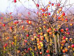 Apfelbaum im Herbst - Apfelplantage mit Äpfeln in Hamburg Finkenwerder.