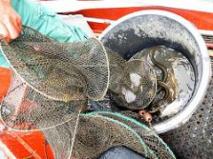 Der Fischer holt seine Reuse ein - die gefangenen Fische werden in die Bünn gekippt.