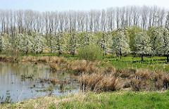 Wasser Alte Süderelbe - blühende Obstbäume, kahle Pappeln - Stadtteilbilder HH-Francop.