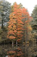 Sumpfzypressen im Herbst - Teich im Stadtpark von Hamburg Winterhude.