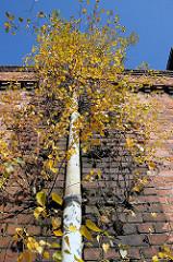 Verlassenes Industriegebäude - Birken wachsen in den Mauerritzen - Billbrookdeich.