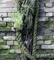 Alte Kaimauer/Ziegelmauer im Hamburger Hafen; bemooste mit Gras bewachsene Taureste.