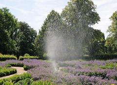 Blühender Lavendel im Harburger Stadtpark - Bewässerungsanlage.