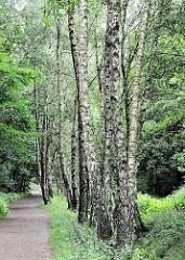 Birken mit ihrer schwarz weissen Rinde wachsen dicht beieinander am Rande des Weges im Naturschutzgebiet Raakmoor - Bilder aus den Grünanlagen und Naherholungsgebieten Hamburg Hummelsbüttel.