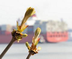 Knospen Kastanienblaetter Heck Containerschiff