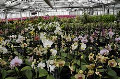 Gartenbau in Hamburg Reitbrook - Treibhaus mit Orchideen Pflanzen.