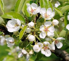 Kirschblüten und Knospen - Obstanbaugebiet Francop.
