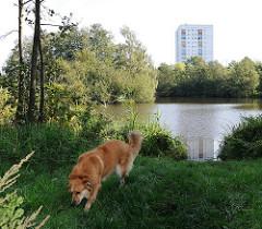 Aufgestaute Berner Au - See in Hamburg Farmsen Berne. Ein Hund spielt am Teichufer - Hochhaus im Hintergrund.