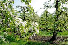 Frühling in Hamburg Francop - blühende Obstbäume.