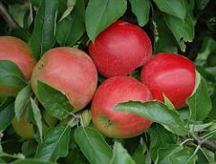 Obstanbau Finkenwerder, rote Äpfel am Baum.