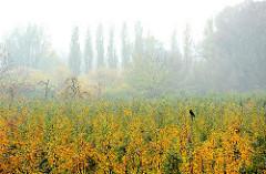 Diesiger Herbsttag in Hamburg Finkenwerder - die Blätter einer Apfelplantage färben sich gelb.