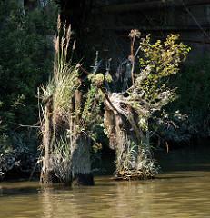 Reste / Holzstümpfe von verwitterten Holzdalben im Hamburger Hafen; die alten Anlegestellen  sind dicht mit Gräsern und Wildkraut bewachsen.