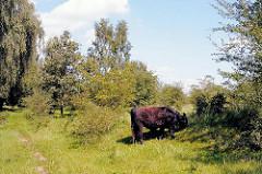 Weidendes Rind im Naturschutzgebiet Höltingbaum. Fotos von Hamburger Ausflugsgebieten.