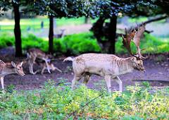 Damhirsche im Wildgehege vom Hirschpark in Hamburg Nienstedten.