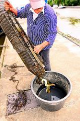 Der Fischer hat einige Aale im Wasser der Billwerder Bucht gefangen; sie werden aus der Reuse geholt.