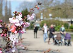 Kirschbluete an der Hamburger Aussenalster