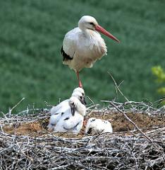 Elternteil und Jungstörche im Nest - Bilder aus dem Stadtteil Curslack.