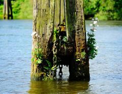Verwitterte Wasserlinie eines Holzdalbens im Hamburger Hafen - blühende Wildkräuter / Unkraut wächst aus dem vermodertem Holz; eine dicke Kette hängt ins Wasser.