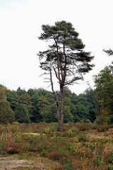 Naturschutzgebiet Wittenberger Heide - Heidelandschaft mit Binnendünen auf dem Geesthang.
