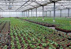 Züchten von verschiedenen Blumen in grossen Treibhäusern - Pflanzen in Töpfen im Glashaus.
