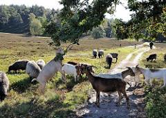Weidende Herde Heidschnucken und Ziegen in der Fischbeker Heide - eine Ziege hat sich auf die Hinterbeine gestellt und frisst das Laub vom Zweig einer Eiche.