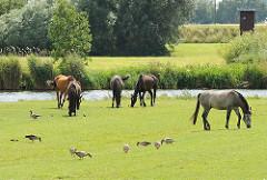 Pferde auf der Weide an der Dove Elbe; die Tiere grasen zusammen mit Graugänsen.