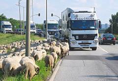 Schafe weiden an einem Deich von Hambug Wilhelmsburg - Lastwagen fahren auf der Strasse.