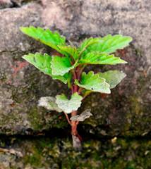 Eine junge Pflanze spriesst aus der Mauerritze einer  Kaimauer im Hamburger Hafen.