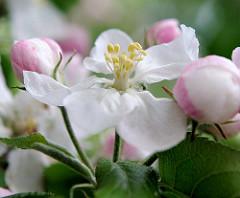 Nahaufnahme / Macro einer geöffneten Apfelblüte - Blütenstempel.