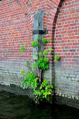 Ziegelmauer / Lagerhaus im Hamburger Hafen; Streichdalben mit üppig wachsender Pflanze.