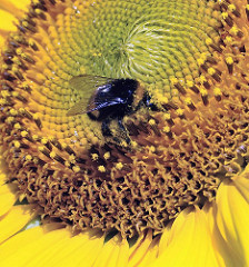 Sonnenblumenfeld in Hamburg Ochsenwerder - Hummel auf der Blüte.