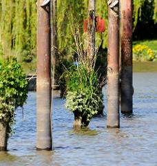 Alte  Holzdalben, deren Enden dicht mit Gräsern und Pflanzen bewachsen ist, daneben Eisenpfähle mit Ösen zum Festmachen von Schiffen -  Relikte / Überbleibsel vom alten Hamburger Hafen.