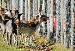 Damwild am Zaun des Wildgeheges in Niendorfer Wald - Hirschkühe werden gefüttert - Hände strecken Futter / Wurzeln / Möhren durch den Maschendrahtzaun.