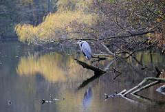 Fischreiher am Alsterufer - auf einem Baumstamm im Wasser sitzend.