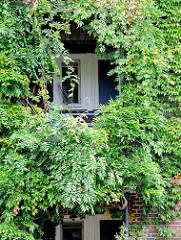 Ein Balkon am Otto Stolten Hof ist von der immergrünen Kletterpflanze Geissblatt fast zugewuchert. Bilder von der Jarrestadt in Hamburg Winterhude.