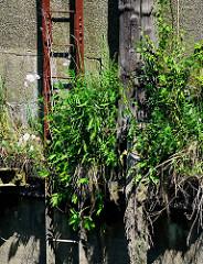 Reste eines Streichdalbens / Holzdalbens an einer Kaimauer im Hamburger Hafen; dicht bewachsen mit Gräsern / Unkraut - verrostete Eisentreppe.