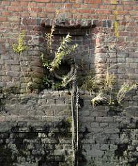 Ziegelmauer / Kaimauer im Hamburger Hafen; aus den Mauerritzen wachsen Gräser und Pflanzen. Eisenring mit alten Leinen auf den verwitterten Steinen.