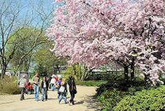 SpziergängerInnen in Hamburg Planten un Blomen - Frühlingsblüten in Planten un Blomen - SpaziergängerInnen unter rosafarbenen Blüten einer japanischen Zierkirsche.