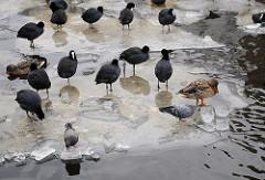 Blesshühner, Enten Tauben auf einer Eisscholle auf der Alster - Bilder aus dem Hamburger Winter.