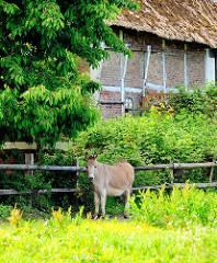 Esel auf der Wiese vor einem alten Fachwerkhaus in Hamburg Curslack.