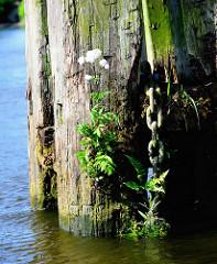 Verwitterte Wasserlinie eines Holzdalbens im Hamburger Hafen - Wildkräuter / Unkraut wächst aus dem vermodertem Holz; eine dicke Kette hängt ins Wasser.