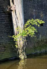Rest eines Holzdalben, an der Wasserlinie stark verwittert - eine junge Birke wächst aus einer Holzritze -   Relikte / Überbleibsel vom alten Hamburger Hafen.