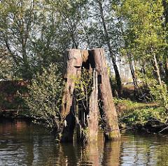 Alte Holzdalben in einem Kanal Harburgs - Birken wachsen aus dem verrotteten Holz.