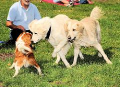 Hunde spielen auf einer Wiese im Hamburger Stadtpark / Winterhude - Golden Retriever in der Sonne - Fotos aus den Stadtteilen Hamburgs.