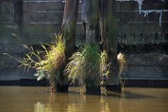 Alte verwitterter Holzdalben bei einer Kaimauer im Hamburger Hafen - die Holzstamm sind an der Wasserlinie vermodert; Gräser und Wildkraut wächst in den Holzrissen.